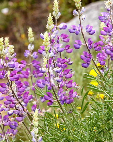Lupine at Big Sur