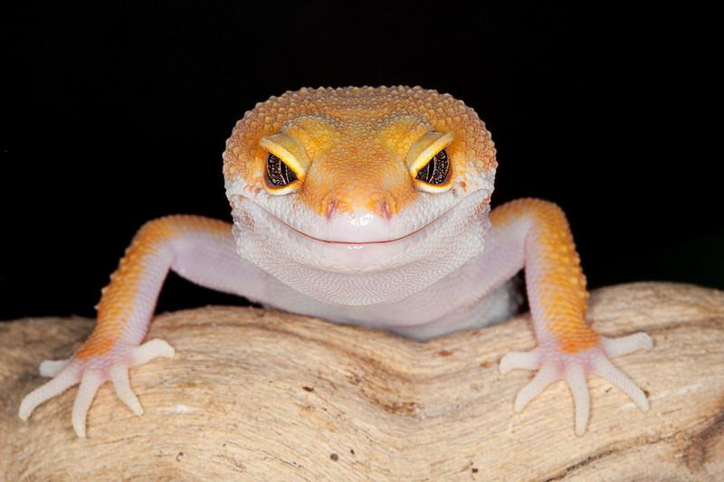 Leopard gecko assorted morph