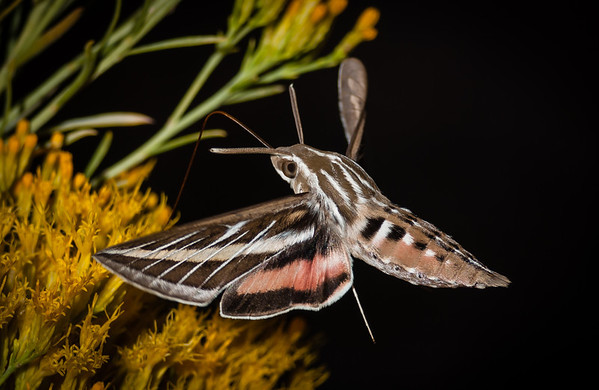 Celerio lineata - The Striped Morning Sphinx