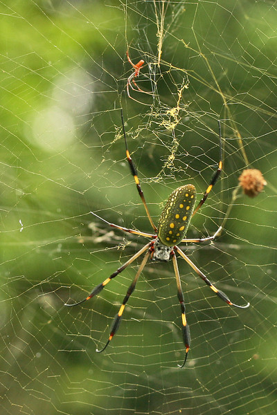 Green spider, Costa Rica