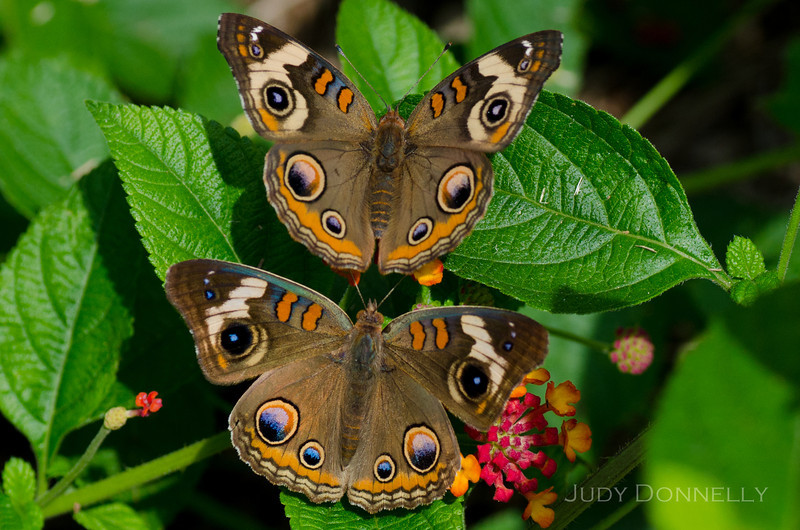 Twin Buckeye Butterflies