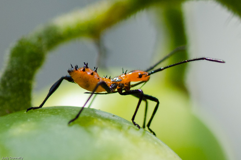 Stink Bug Nymph eating my tomatoes