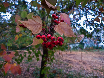 Red berries and leaves turning to fall colors.