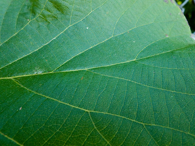 Up close look at the veins of a leaf.
