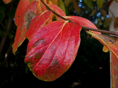 Changing Fall colors as this leaf turns from green to red.