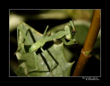 Young Mantis eating an ant.