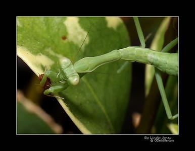 A little Praying Mantis, female, less than an inch long, eating a knat.