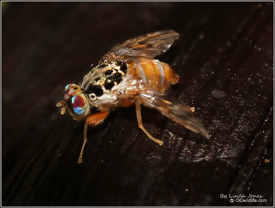 Colorful Gnat fly, small, I wonder if its the dreaded fruit fly?