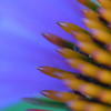 Cone flower detail (Echinacea) detail.