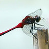 Dragonfly (red-veined darter?) same guy