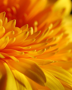 Yellow Gerbera II