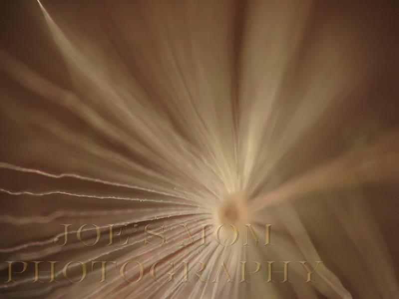 Wings of a Dandelion Seed