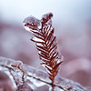 Imprisoned Fire, macro photograph of red cypress branch frozen in ice
