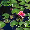Small waterlily among lily pads, nature photography