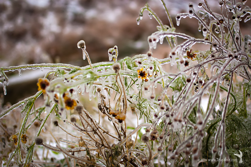 Frozen prairie flowers, winter photography