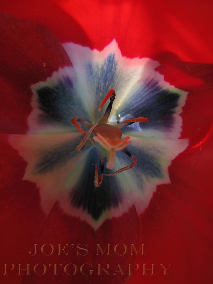 A tulip kaliedescope