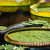 Various waterlily pads, nature photography