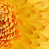Yellow Gerbera III