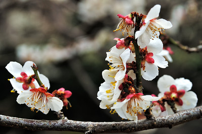 Plum tree blossoming at Mt. Tsukuba