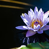 Violet waterlily, macrophotography