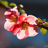 Pink quince flowers, macro photography