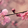 """Plum Tree Blossom<br /> colours by: <a href=""""http://lieveheersbeestje.org"""">http://lieveheersbeestje.org</a>"""
