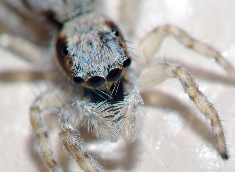 jumper spider, Miami Florida.