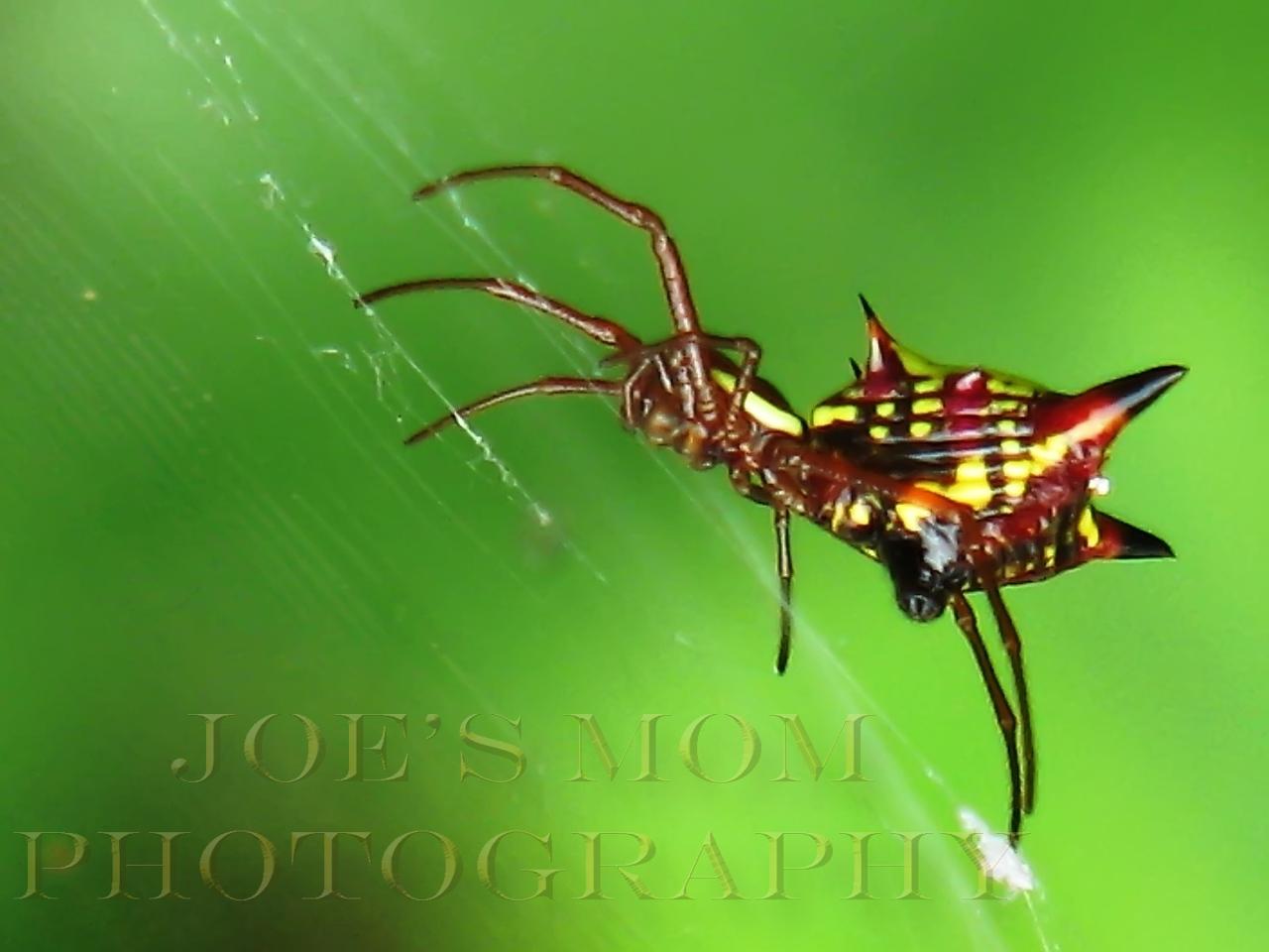 Crab spider in my garden