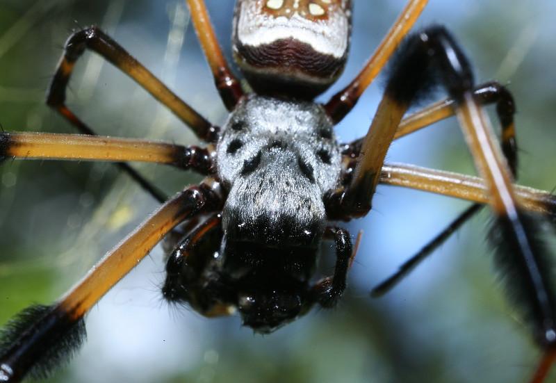 Banana Spider<br /> Long Key Nature Center<br /> Davie, Florida