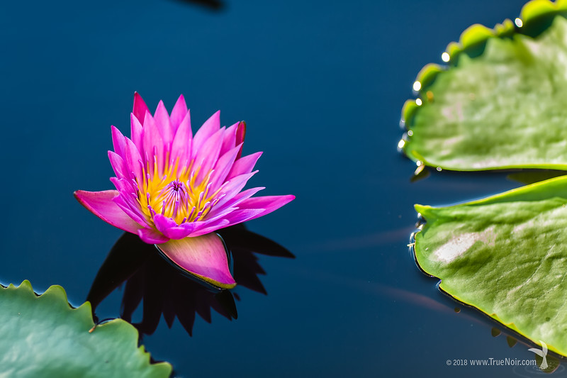 Pink waterlily on a still pond, nature photography