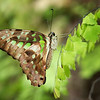 Tailed Jay Butterfly<br /> Fairchild Tropical Botanic Garden<br /> Coral Gables, FL