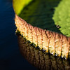 Waterlily pad, macro photography