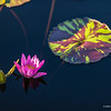 Small pink waterlily and lili pad, nature photography
