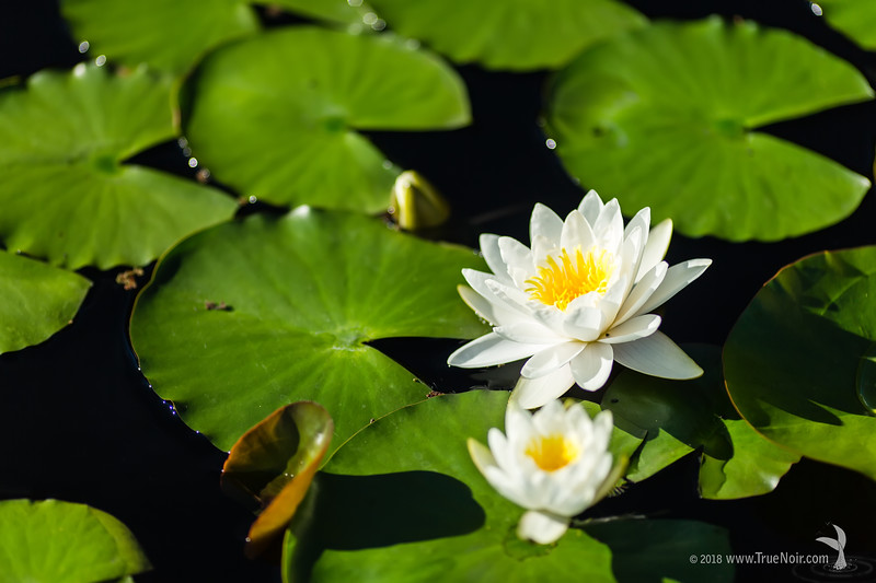 White waterlily in the pond, nature photography