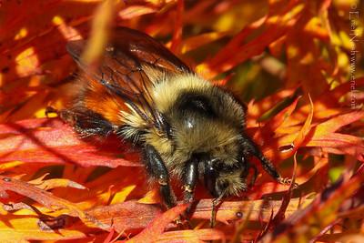 Bumblebee-20131023-61