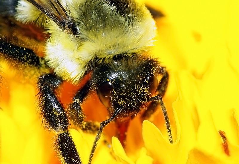 Bumblebee, Public Gardens, Saint John NB Canada