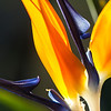 December 11, 2013: Bird of Paradise at the San Juan Capistrano Mission.