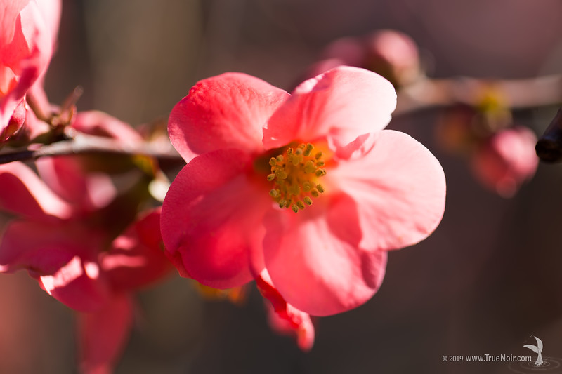 Pink quince flower, macro photography