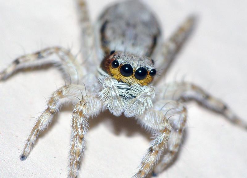 jumper spider, Miami, Florida
