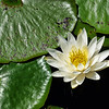 Lotus flower<br /> Long Key Nature Center<br /> Davie, Florida