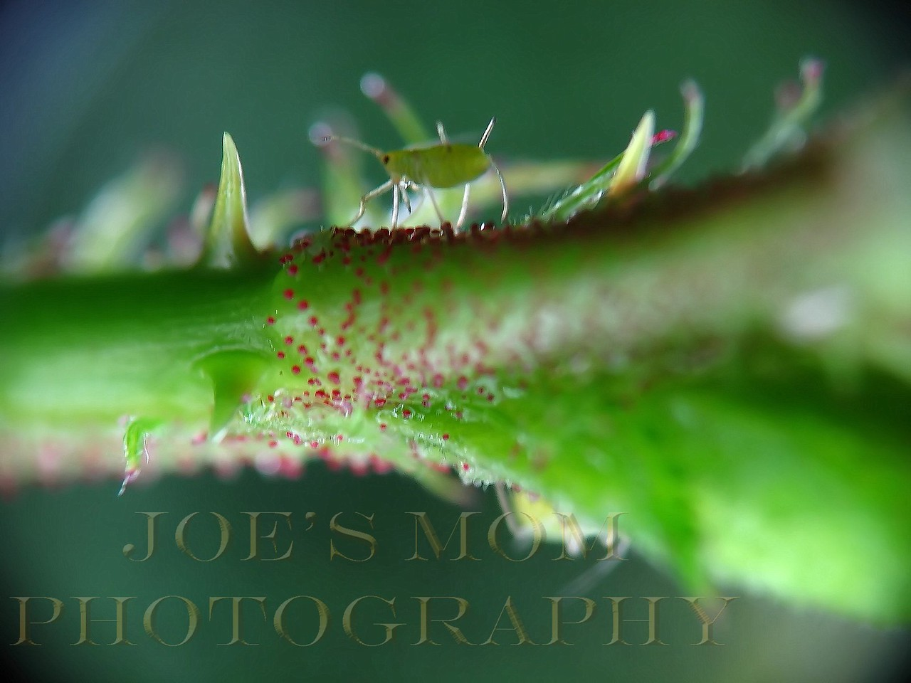 Aphid on a wild rose stem