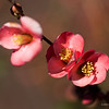 Pink quince branch, macro photography