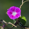 Pink Morning Glory, macro photography