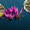 Half-way submerged pink waterlily in a pond, nature photography