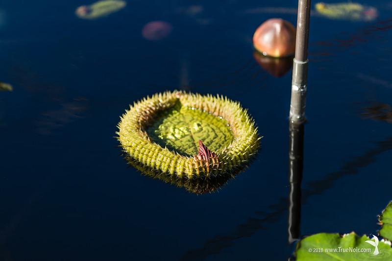 Unfolding waterlily pad, nature photography