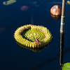 Unfolding waterlily pad, nature photography