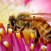 honeybee on cannonball flower<br /> Fairchild Tropical Botanic Gardens<br /> Coral Gables, FL