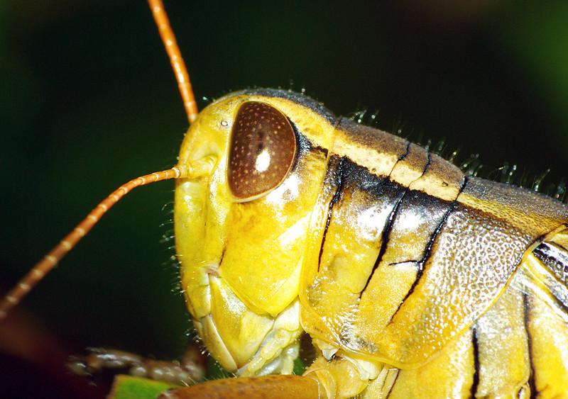 Grasshopper, Lepreau Falls, NB Canada