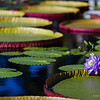 Violet waterlily at the pond, nature photography