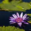 Purple waterlily at the pond, nature photography